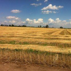 cut rye field